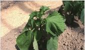 [최신연구] 차조기(자소)잎 수확시 손거칠어짐에 대한 피부장벽 크림 예방효과